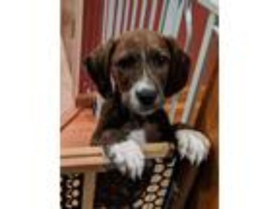 Adopt Whisk a Brown/Chocolate - with White Boxer / Mixed dog in Staten Island