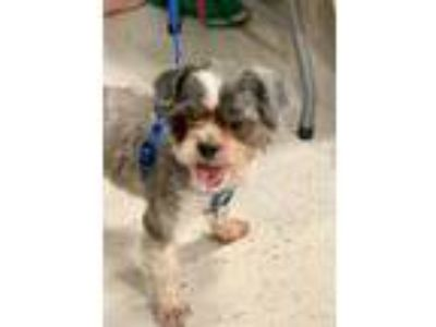 Adopt Willy a Gray/Silver/Salt & Pepper - with White Shih Tzu / Mixed dog in