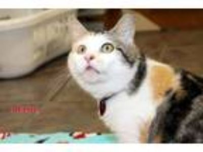 Adopt Meisha a Calico or Dilute Calico Calico (short coat) cat in Danville