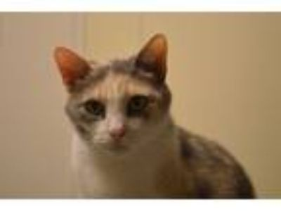 Adopt Pollyanna a Calico or Dilute Calico Domestic Shorthair (short coat) cat in