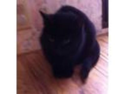 Adopt Shadow a Domestic Medium Hair