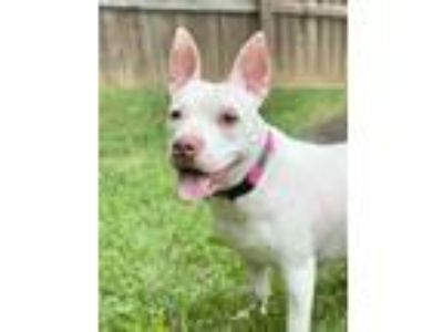 Adopt Tempest a Pit Bull Terrier