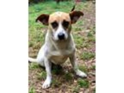 Adopt REX a Labrador Retriever, Australian Cattle Dog / Blue Heeler
