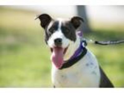 Adopt Little Boy a Black - with White Pointer / Mixed dog in La Jolla