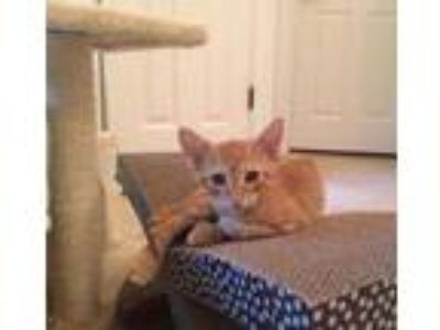 Adopt Gus a Orange or Red Domestic Shorthair / Domestic Shorthair / Mixed cat in