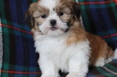 bright Shih tzu puppies ready now