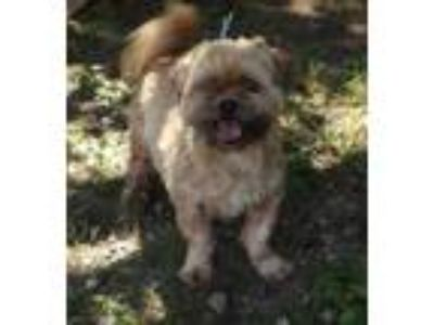Adopt Willy a Tan/Yellow/Fawn Shih Tzu / Mixed dog in Voorhees, NJ (25934839)