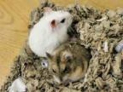 Adopt SQUEESHY a Hamster