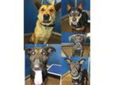 Adopt Pets of the week 5/9/19 a Collie, German Shepherd Dog