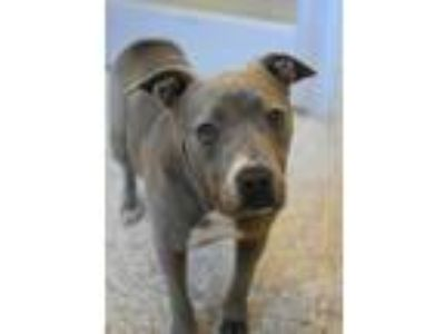 Adopt Baby a Pit Bull Terrier