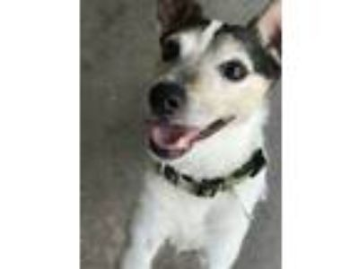 Adopt Scooter a White - with Brown or Chocolate Jack Russell Terrier / Mixed dog