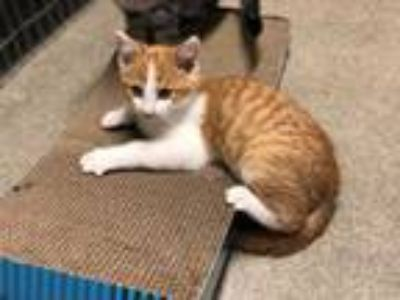 Adopt Kyler a Domestic Short Hair