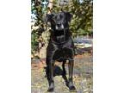 Adopt Harrison a Labrador Retriever