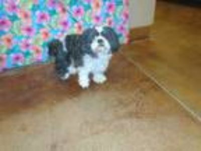 Adopt Dog a Black - with White Shih Tzu / Mixed dog in Thousand Palms