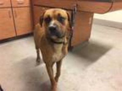 Adopt a Brown/Chocolate - with Black American Pit Bull Terrier / Boxer / Mixed