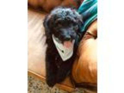 Adopt Bella a Black Australian Shepherd / Poodle (Standard) dog in Manhattan