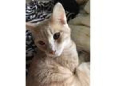 Adopt Charlie a Tan or Fawn Tabby American Shorthair / Mixed cat in Lecanto