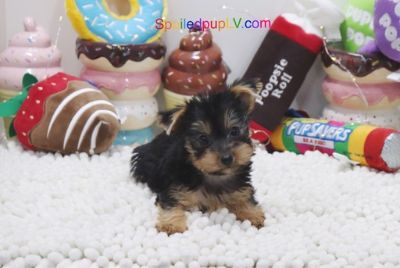 Yorkshire Terrier PUPPY FOR SALE ADN-103934 - Yorkshire Terrier  Micah  Male
