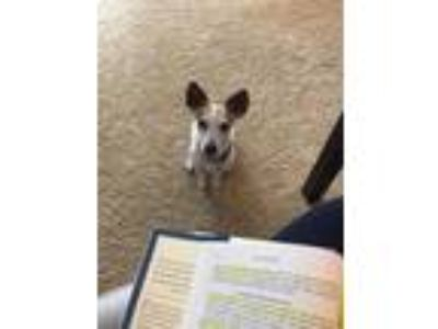 Adopt Luci a White - with Brown or Chocolate Jack Russell Terrier dog in