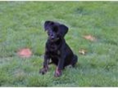 Adopt Ember a Black Hound (Unknown Type) / Mixed dog in Cumming, GA (25787462)