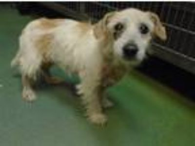 Adopt Loretta a Jack Russell Terrier / Mixed dog in Raleigh, NC (25577197)