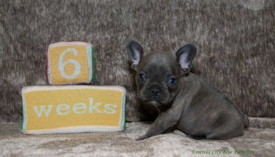 French Bulldog PUPPY FOR SALE ADN-103948 - Montague Blue male with Brindle