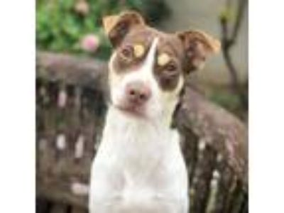 Adopt Xander a White - with Tan, Yellow or Fawn Rat Terrier / Mixed Breed