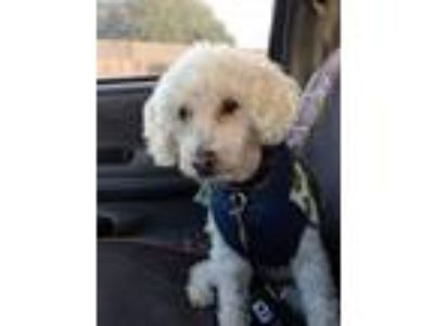 Adopt Rockwell a Poodle