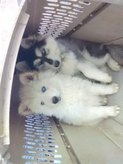 woolly blue eyed husky pups