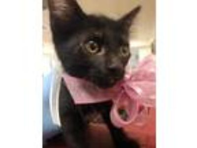 Adopt Kaiulani a All Black Domestic Shorthair / Domestic Shorthair / Mixed cat