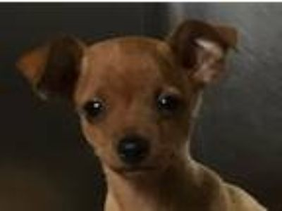 Adopt Minnie a Red/Golden/Orange/Chestnut Miniature Pinscher / Mixed dog in