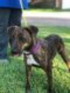 Naomi Pointer - Pit Bull Terrier Dog