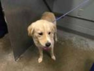 Adopt Toby a White Retriever (Unknown Type) / Mixed dog in Greenville