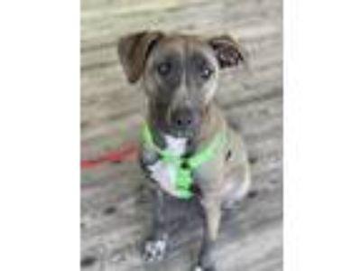 Adopt Aries a Black - with Gray or Silver Labrador Retriever / Hound (Unknown
