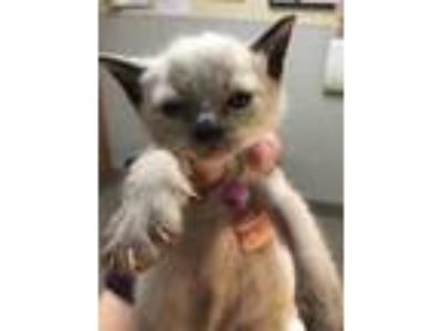 Adopt Inez a Brown or Chocolate Siamese / Domestic Shorthair / Mixed cat in