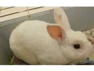 Adopt BUNS a White Other/Unknown / Mixed rabbit in Vero Beach, FL (25443846)