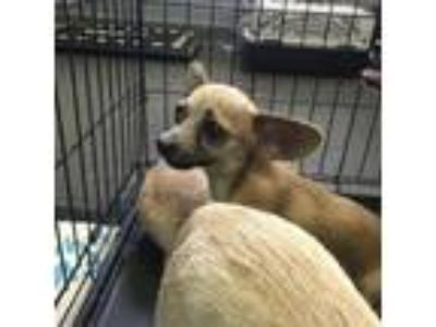 Adopt Julio a Tan/Yellow/Fawn Mixed Breed (Small) / Mixed dog in Orlando