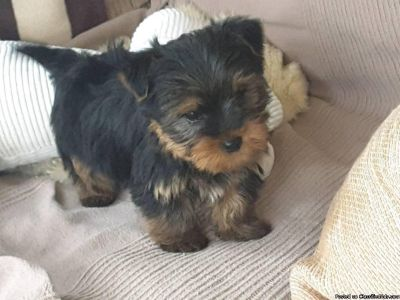 Yorkshire terrier Ready For Xmas Male and Female