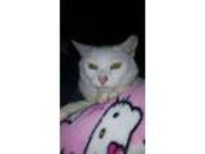 Adopt Sunny Boy a White Domestic Shorthair (short coat) cat in Albemarle
