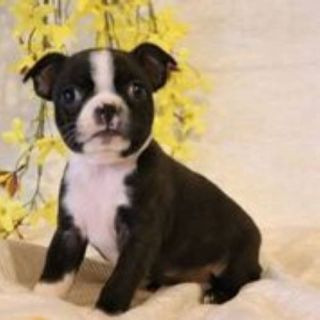 Marcy Female Boston Terrier AKC