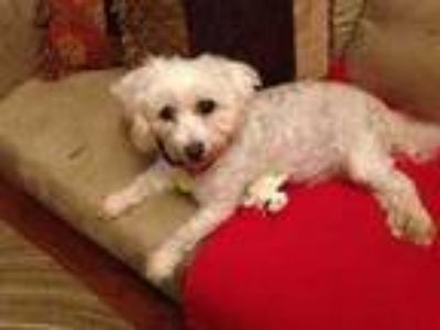Adopt Kobe a White Shih Tzu / Bichon Frise / Mixed dog in Fairfax Station
