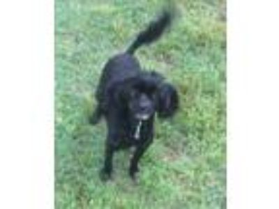 Adopt Tilly a Black Poodle (Miniature) / Mixed dog in Cranston, RI (25281526)