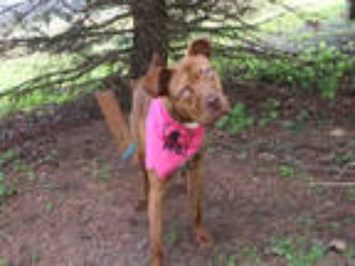 Adopt BANGLES a Red/Golden/Orange/Chestnut Mixed Breed (Medium) / Mixed dog in