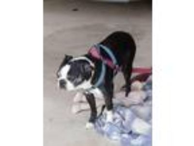 Adopt Ace a Black - with White Boston Terrier / Mixed dog in dewey