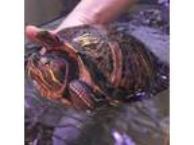 Adopt Sheikah a Turtle - Other reptile, amphibian, and/or fish in Fairport
