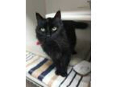 Adopt Oliver a All Black Domestic Mediumhair / Domestic Shorthair / Mixed cat in
