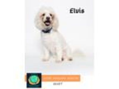 Adopt ELVIS A1853098 a White Poodle (Miniature) / Mixed dog in Agoura Hills