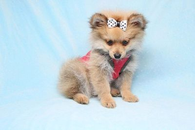 Teacup Pomeranian Puppies for Sale in Las Vegas! Financing and Shipping Available!