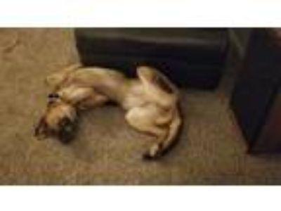 Adopt Zorin a Black - with Tan, Yellow or Fawn German Shepherd Dog / Labrador