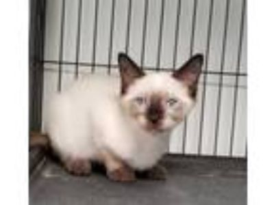 Adopt LOLO a Cream or Ivory (Mostly) Siamese / Mixed (short coat) cat in Dallas